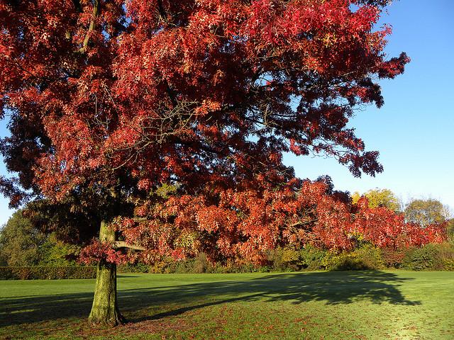 L'albero della Regina d'Inghilterra: the Queen's tree